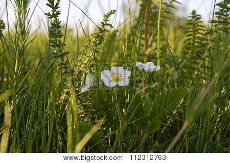 strawberry flower blooming in the green grass