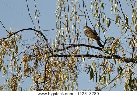 Sharp-shinned Hawk Perched In An Autumn Tree