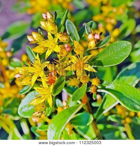 Sedum,Kamchatka Sedum (Sedum kamtschaticum)