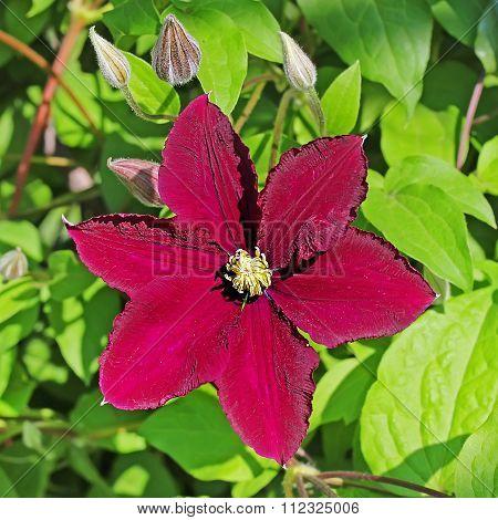 Blooming clematis (Clematis)