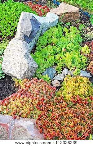 Young or rock rose (Sempervivum located) is a genus of plants of the family Crassulaceae