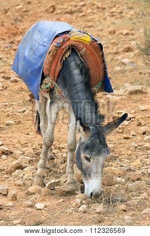 Donkey in Sahara Desert, Morocco, Africa