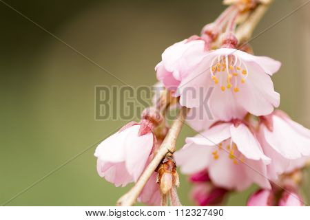 Close up weeping cherry blossoms