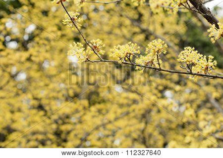Asiatic dogwood flowers