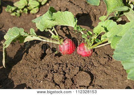 Radishes Plants In Soil