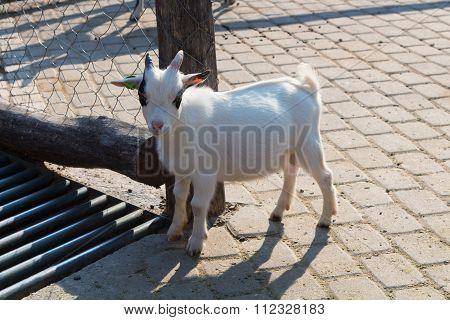 Small White Goatling