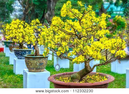 Pots yellow apricot flowering bonsai in spring Vietnam