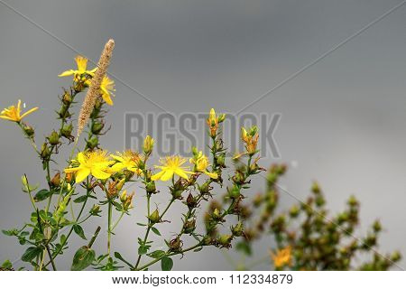 Wild Field Flower Of Yellow Color