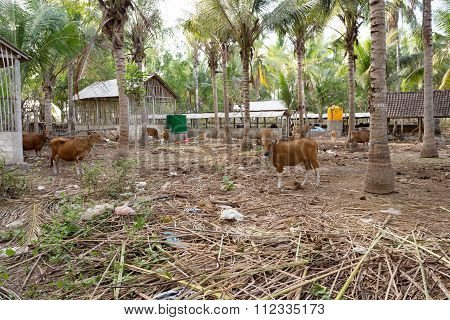 Traditional Domestic Cattle, Indonesia