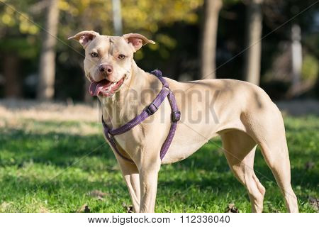 Beautiful  portrait of an American Staffordshire terrier.