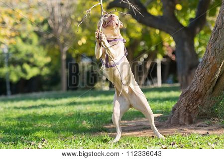 American  Staffordshire pure breed jumping to reach a branch.