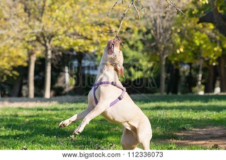 American  Staffordshire terrier in action jumping high.