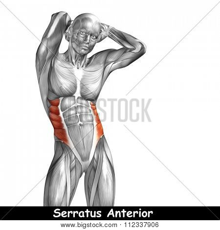 Concept or conceptual 3D chest human anatomy or anatomical and muscle isolated on white background