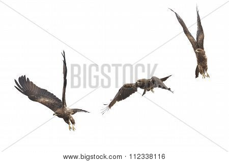 Beautiful Falcon (black Kite) Bird Flying In The Sky Isolate On White Background