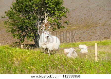 White Sheep On The Green Field.