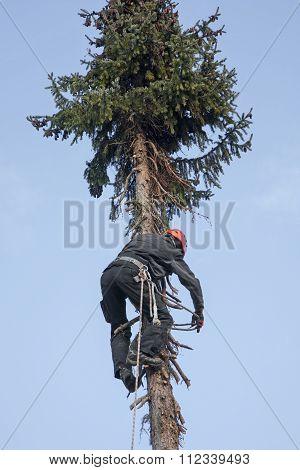Woodworker Climbing Up A Fir Tree