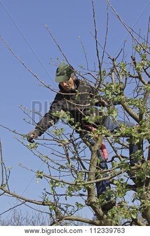 Gardener In The Tree Crown, Cutting Apple Tree At Springtime