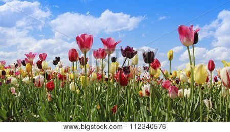 Bright Tulip Field In Miscellaneous Kinds And Colors