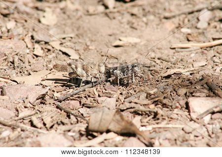 Pair Of Grasshoppers Perched Over Dry Plain Area
