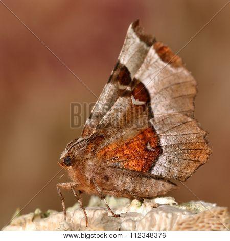 Purple thorn moth (Selenia tetralunaria)