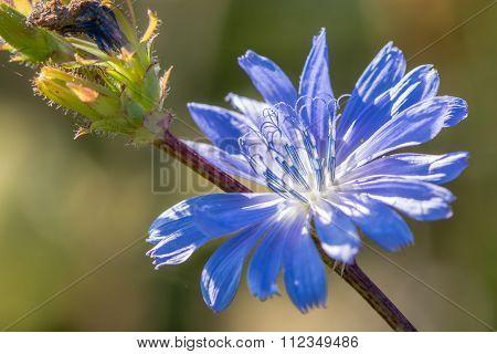 Chicory (Cichorium intybus) flower close-up