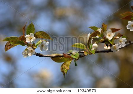 Wild cherry tree (Prunus avium) in flower