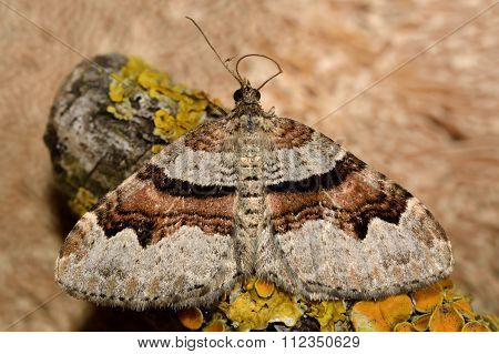 Flame carpet moth (Xanthorhoe designata)