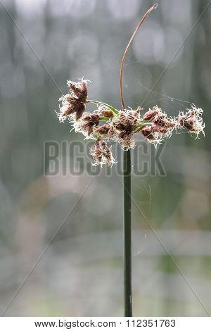 Common club-rush (Schoenoplectus lacustris)