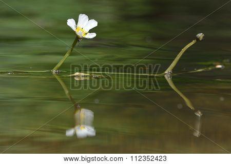 Water crowfoot (Ranunculus sp.) in flower near Bath, UK