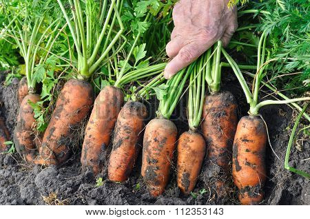 Farmer Harvesting Fresh Organic Carrots