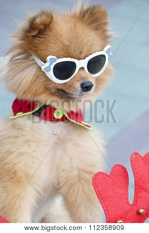 Pomeranian Brown Dog Wearing Glasses  Sitting On Tricycle