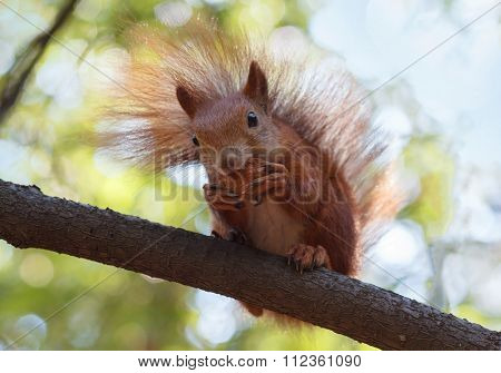 Red Squirrel Gnaws A Walnut Sitting On A Cooking Timber. Nature