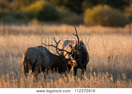 Male Elk Sparring
