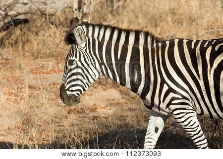 Plains Zebra In The Bush