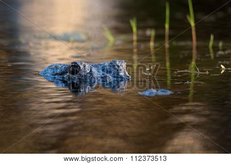 Large American Alligator In The Water