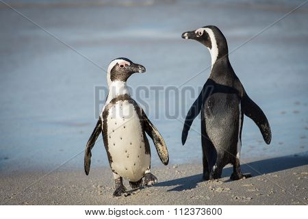Two African Penguins On The Beach