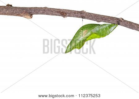 Isolated Chrysalis Of Great Mormon