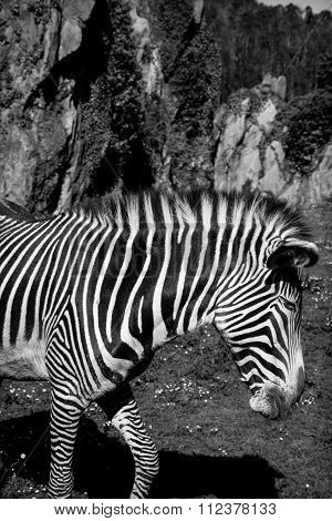 Grevy's Zebra, Samburu National Park, Kenya