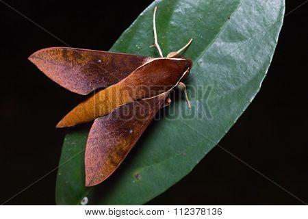 Hawk Moth On Green Leaf