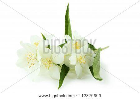 White Flowers Of Jasmine Isolated On White