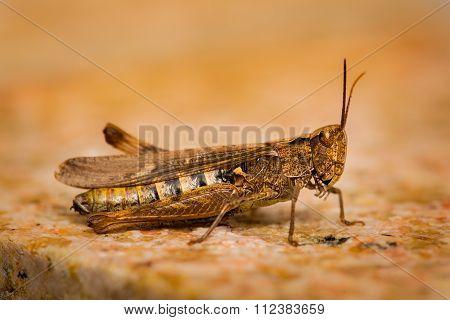 Grasshopper Fine Macro