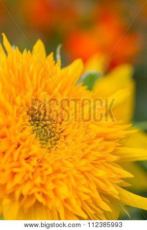 Sunflower Pollen