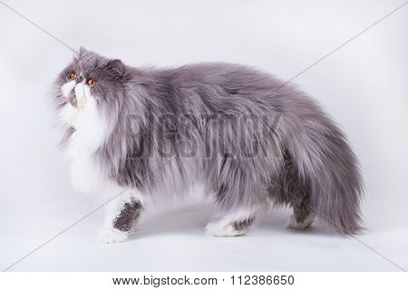 Young bicolor persian cat