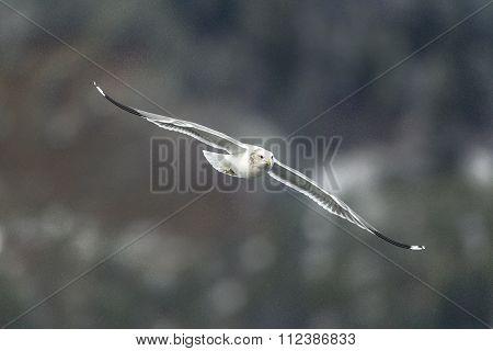 Seagull Gliding In Air.