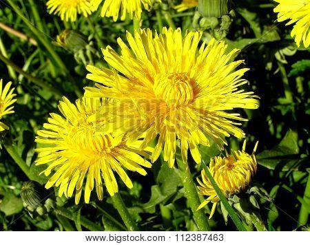 Yellow Dandelion, Taraxacum Officinale