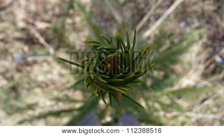 Spruce sprout