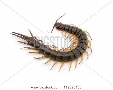 Centipede Died On White Background.