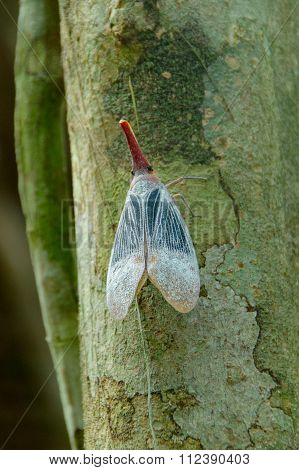 Lantern Bug Or Planthopper Clinging On The Tree