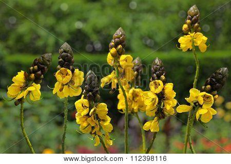 Candelabra Bush Plant