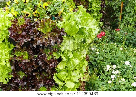 Vegetable Growing Vertically In The Agricultural Farm